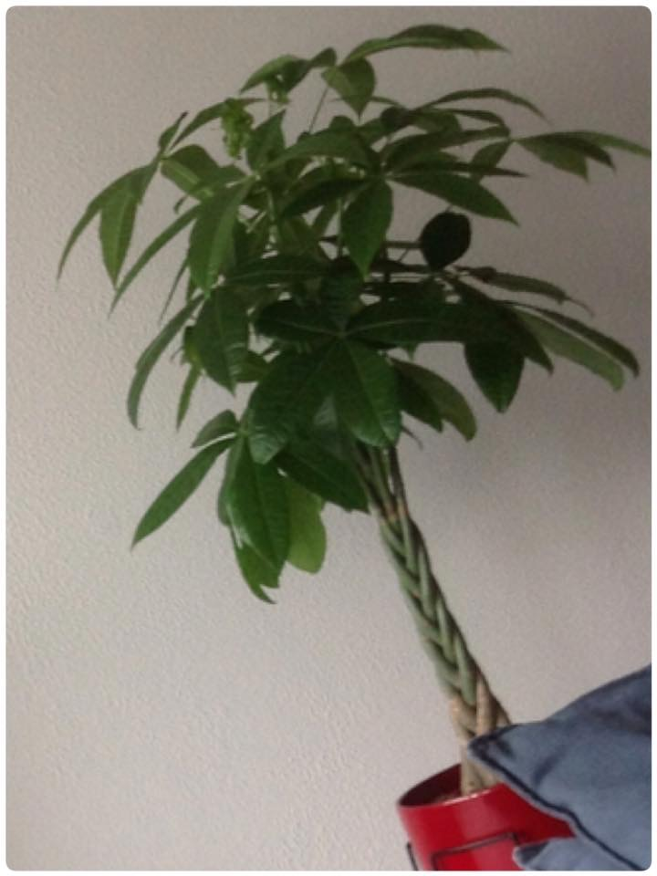 Geluksplant